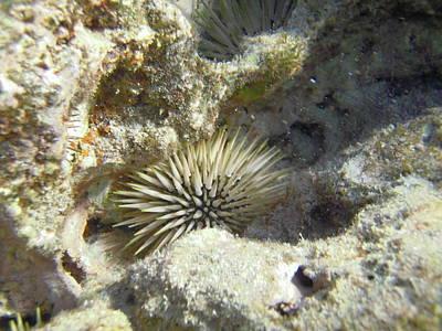 Sea Urchin Print by Michael Peychich