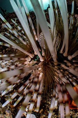 Underwater Photograph - Sea Urchin by Rico Besserdich