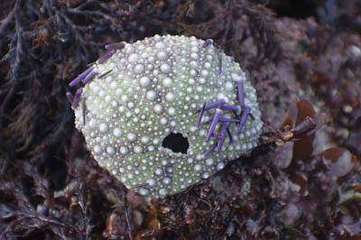 Photograph - Sea Urchin Shell by Adria Trail