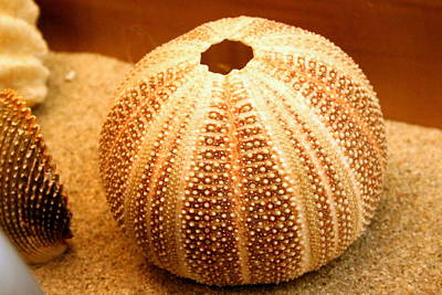 Photograph - Sea Urchin Shell At California's Birch Aquarium by Laurel Talabere