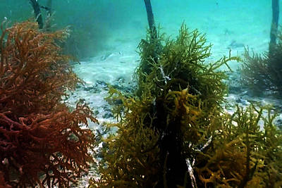 Sea Weed Mixed Media - Sea Weed Farming Plantation And Harvesting In The Island Of Zanzibar by Navin Joshi