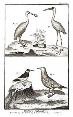 Spoonbill Digital Art - Seabirds - Ibis, Spoonbill, Eurasian Oystercatcher, Gull by Antique Images