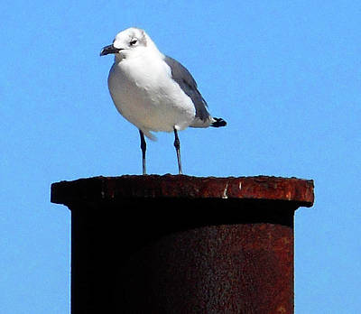 Photograph - Seagull 1 by Ron Kandt