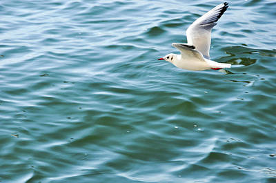 Photograph - Seagull Above The Sea by Carl Ning