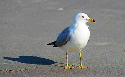 Photograph - Seagull And His Shadow by Cynthia Guinn