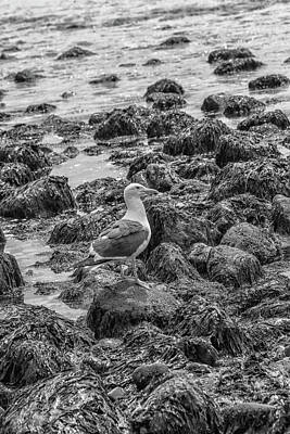Photograph - Seagull And Rocks Bw by Robert Hebert
