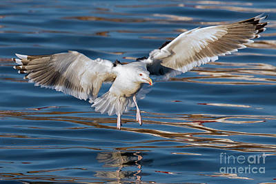 Photograph - Seagull by Arterra Picture Library