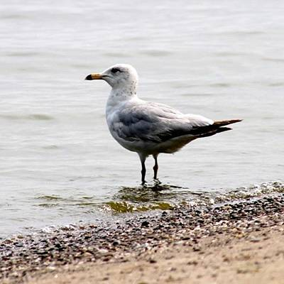 Wildlife Wall Art - Photograph - Seagull At Durand by Justin Connor