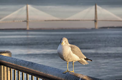 Photograph - Seagull At Ravenel Bridge by Lynne Jenkins