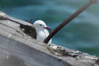 Photograph - Seagull by Cassandra Buckley