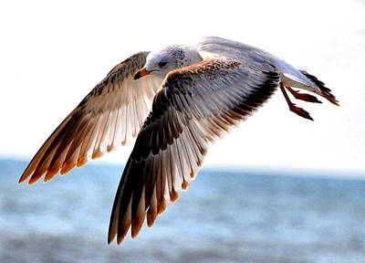Flying Seagull Photograph - Seagull Cruise by Emily Stauring