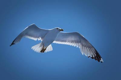 Photograph - Seagull by Davor Zerjav