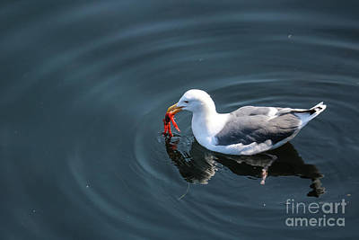 Photograph - Seagull Feasting On Crab by Suzanne Luft