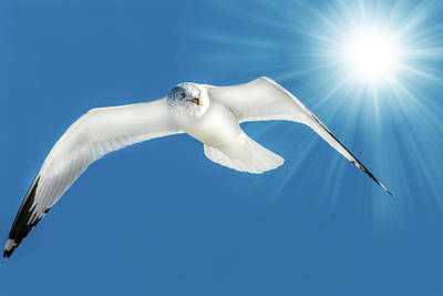Photograph - Seagull Flying In Blue Sky With Sun Rays by Patrick Wolf
