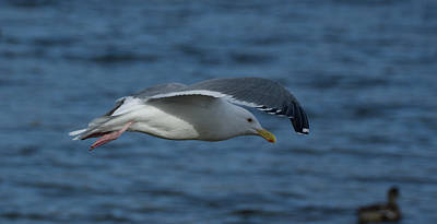 Photograph - Seagull In Flight by Marilyn Wilson
