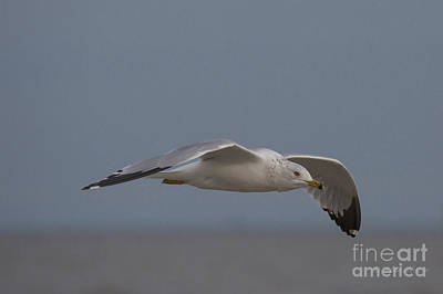 Photograph - Seagull Glides Over The Beach by D Wallace