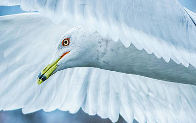 Photograph - Seagull Hover Close-up by Jeff at JSJ Photography