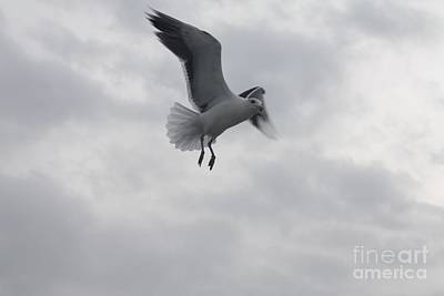 Photograph - Seagull Hovering Overhead by John Telfer