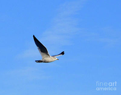 Photograph - Seagull In Flight by Cindy Schneider