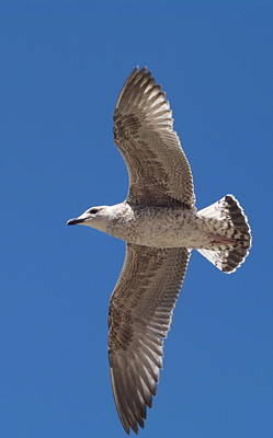 Photograph - Seagull In Flight by Michael Canning