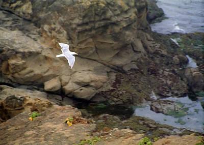 Seagull In Flight Art Print by Steve Ohlsen