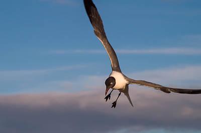 Photograph - Seagull In Flight by Willard Killough III