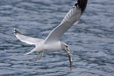 Photograph - Seagull by John Pavolich