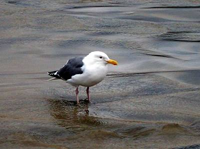 Photograph - Seagull by Lisa Rose Musselwhite