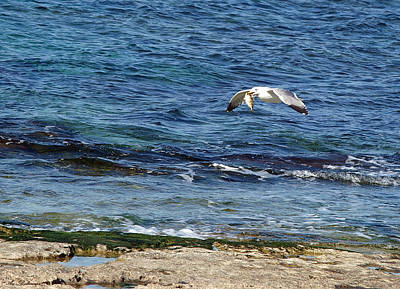 Art Print featuring the photograph Seagull Meal Time 2 by Arik Baltinester