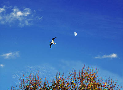 Photograph - Seagull, Moon, Summer Sky by Roger Bester