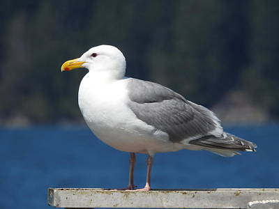 Photograph - Seagull by Nootka Sound