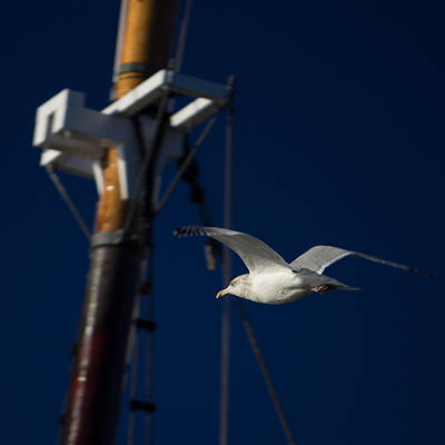 Photograph - Seagull Of Mystic Ct by Kirkodd Photography Of New England