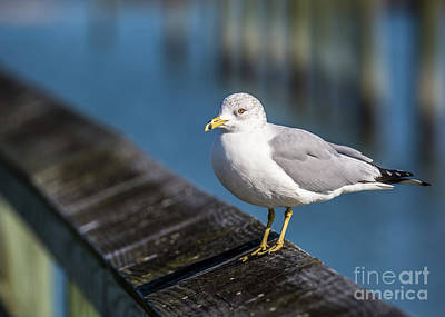 Photograph - Seagull On A Railing by Gene Berkenbile