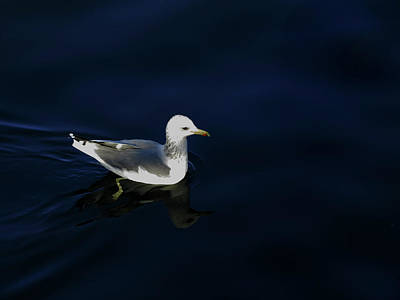 Photograph - Seagull On Blue by Jacqueline  DiAnne Wasson
