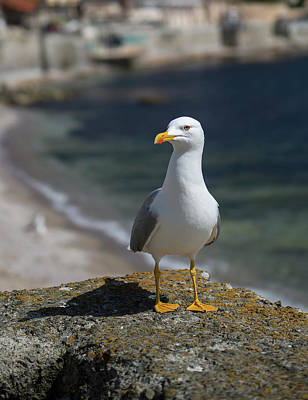Photograph - Seagull On Focus, Close-up View by Radoslav Nedelchev