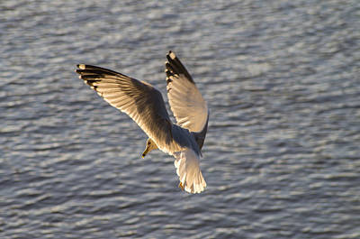Photograph - Seagull Over Cape Fear River by Willard Killough III