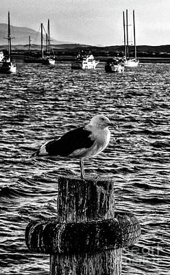 Seagull Perch, Black And White Art Print