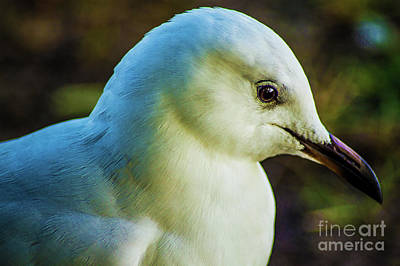 Photograph - Seagull Portrait 1  by Naomi Burgess