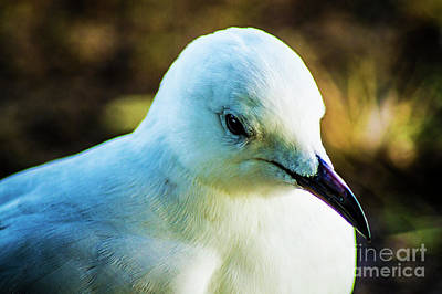 Photograph - Seagull Portrait 2 by Naomi Burgess