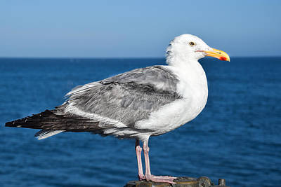 Photograph - Seagull Posing On The Pier by Dany Lison