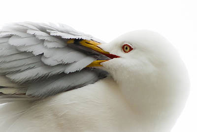 Seagull Pruning His Feathers Art Print