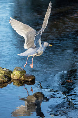 Photograph - Seagull Reflections by Keith Boone