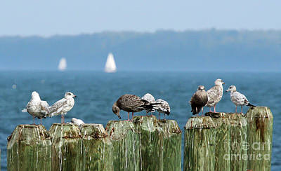 Photograph - Seagull Symposium by Kevin McCarthy