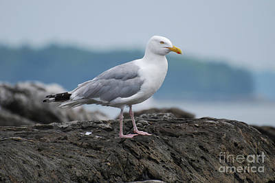 Photograph - Seagull Standing On A Rock Off The Coast Of Maine by DejaVu Designs