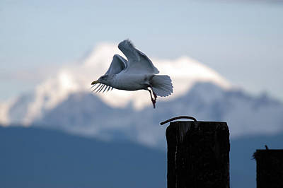 Photograph - Seagull Take Flight by Chris LeBoutillier