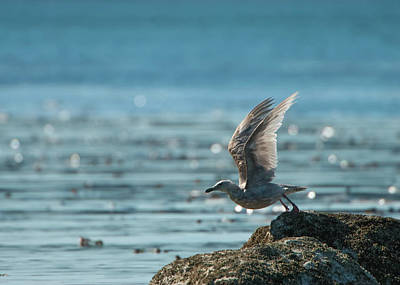 Photograph - Seagull Takeoff by Chris LeBoutillier