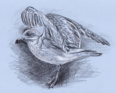 Drawing - Seagull Taking Flight by MM Anderson