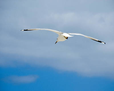 Photograph - Seagull by Tony Grider