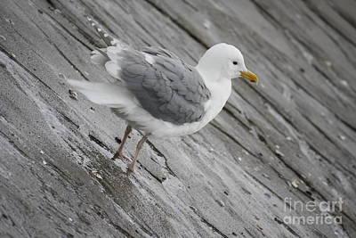 Photograph - Seagull by Wilko Van de Kamp