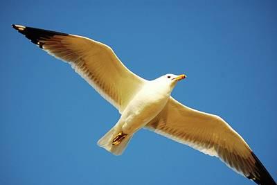 Photograph - Seagull Wingspan by Matt Harang